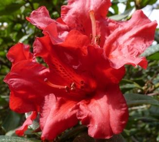 Rote Rhododendronblüte