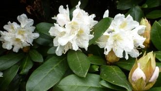 3 weiße Blüten im April