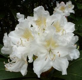 Die weiße Rhododendronblüte