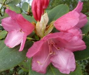 Rosarote Blüten