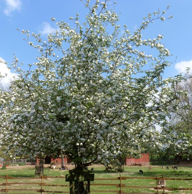 Apfelblütenbaum im Schwanenteich