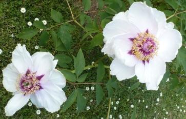 Pfingsrosenblüten