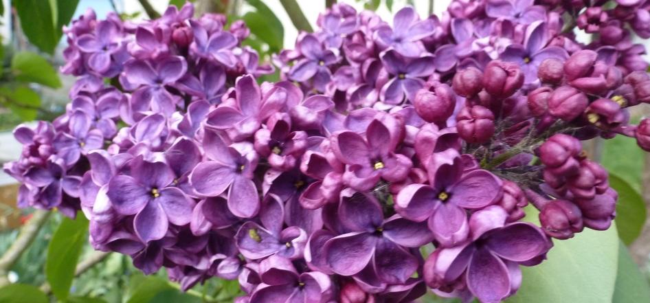 Fliederblüten in lila