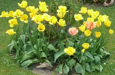 Tulpenbeet in gelb