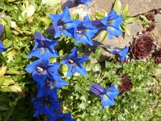Blauer Enzian