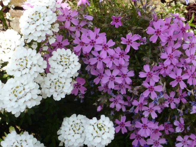 Blau weiße Frühligsblumen