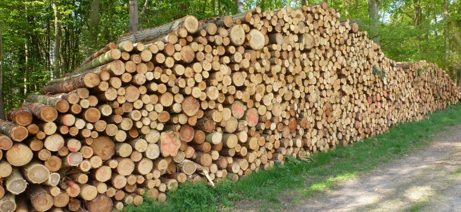 Gefällte Tannenholzbäume