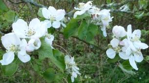 Wilde Apfelblüte