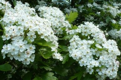 Jasminbuschblüten