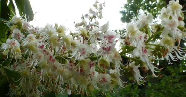 Weiße Kastanienblüte