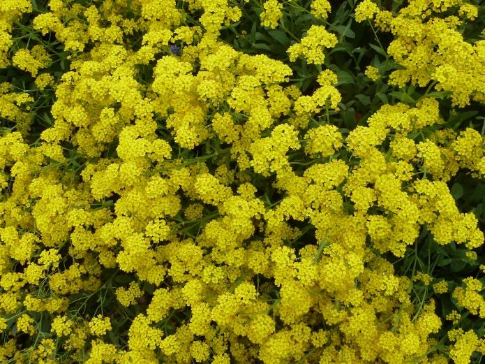 Gelber Bodendeckerbusch