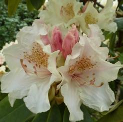 Weiß roter Rhododendronblüten