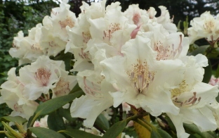Weiße Rhododendronblüten