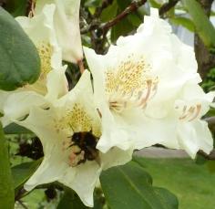 Rhododendron mit Biene