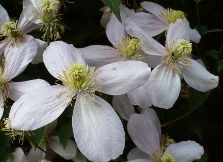 Weiße Blütenranke