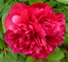 Rote Pfingstrosenblüte