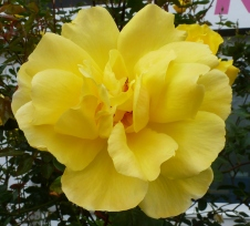 Gelbe schöne Rosenblüte