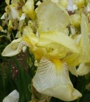 Gelbe Schwertlilienblüte