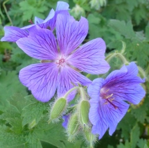 Bodendeckerblume