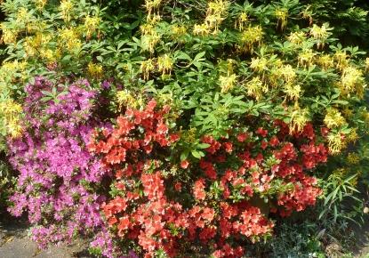 Azaleenbusch in 3 Farben