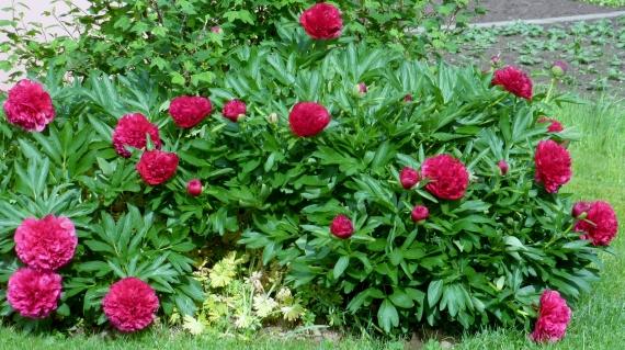 Roter Pfingstrosenbusch