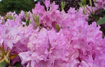 Blühender Rhododendronbusch