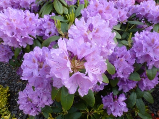 Lilane Rhododendronblüten