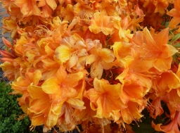 Orange Rhododendronbusch
