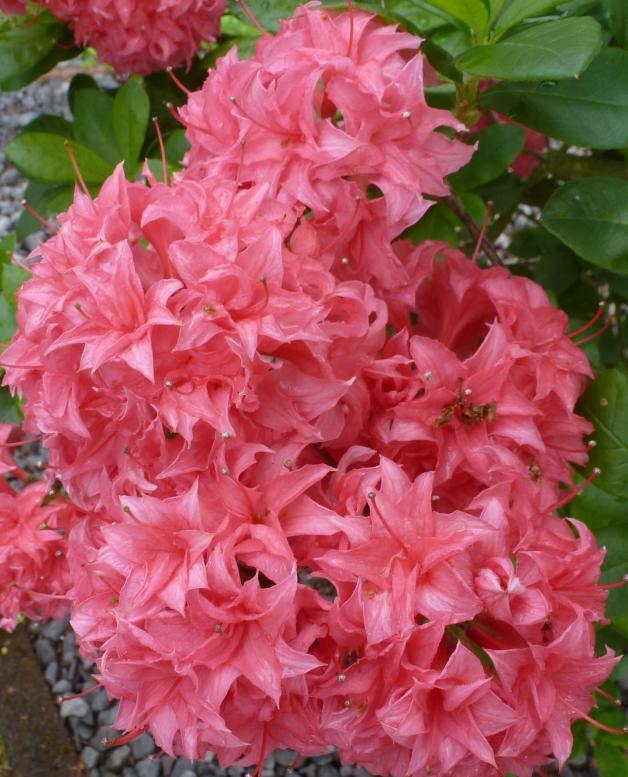 Rosaner Rhododendronbusch