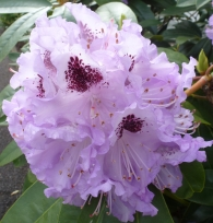 Rhododendron in rosa