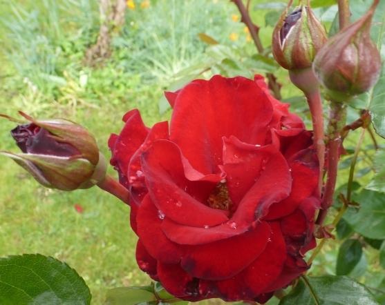 Rote Rosenblüte in all ihrer Pracht