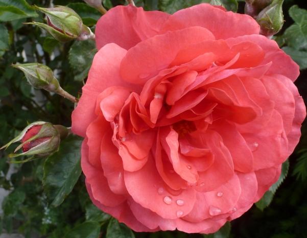 Hellrosane Rosenblüte