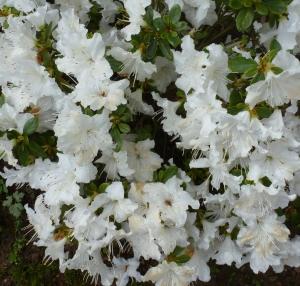 Rhododendronbusch in weiß