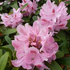 Rosane Rhododendronbusch