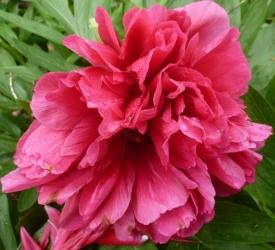 Pfingstrosenblüte