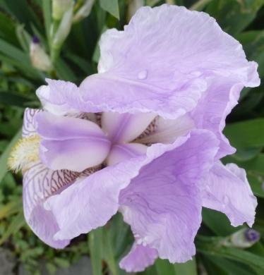 Eine schöne Lilienblüte