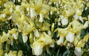 Gelbe Schwertlilien wunderschön