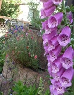 Fingerhut am Gartenzaun