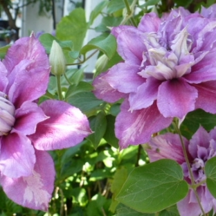 Lilane Clematis