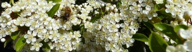 Jasminbusch mit Biene