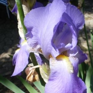 Blaue Lilienblüte
