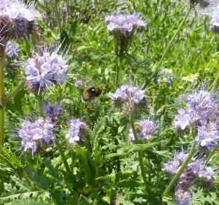 Borritschbusch mit Biene