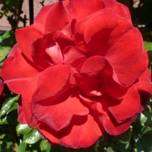 Rote Rose die Farbe der Liebe