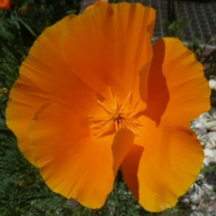 Orangen Blüte