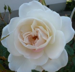 Eine edle weiße Rose