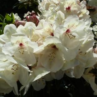 Weiße Rhododendron