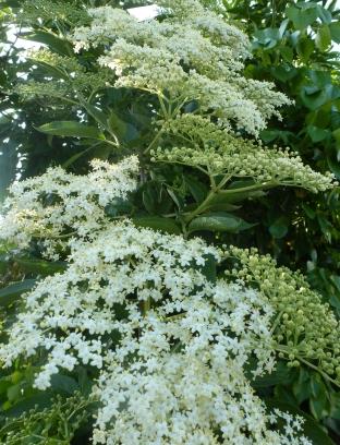 Holunderblütenbusch