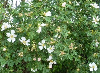Weißer Wildrosenbusch