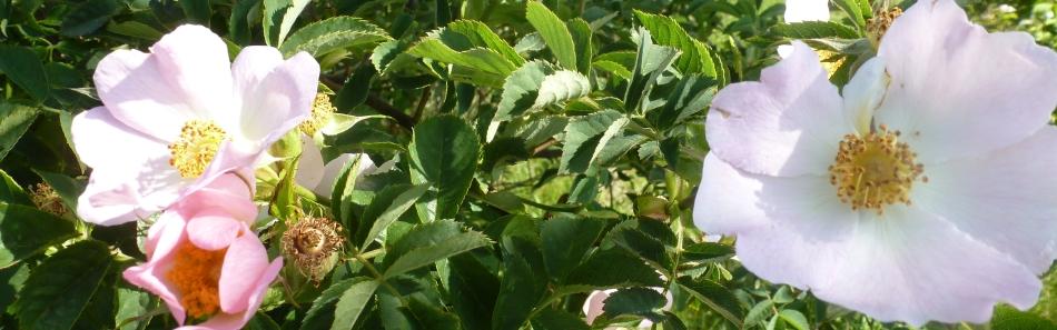 Wilder weißer Rosenbusch