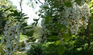 Akazienblütenbaum an der Ahr